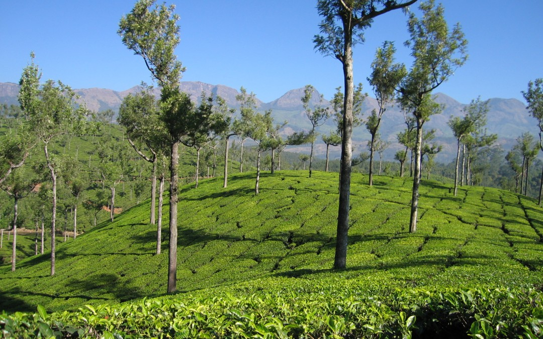9 Inde du sud plantation de thé